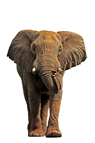 Wallmonkeys WM206284 African Elephant Isolated on a White Background Peel and Stick Wall Decals (24 in H x 16 in W), Medium