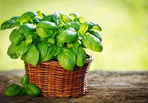 SANHOC Samen Basil Lemon Grün Gemüse Bio-Heirloom Russian Ukraine