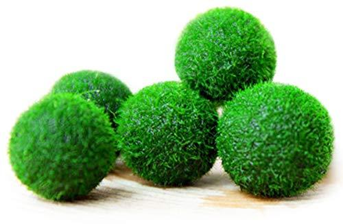 MARIMO Moss Boule X 5 + 1 Gratuit clavardage Rare facile Décor usine. Vous vivez Moss Balle. (Ship FROM UK) Taille d''environ 12 mm