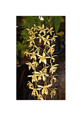 Stk - 1x Coelogyne massangeana gelb epiphytisch Duft Orchidee Pflanze OW46 - Seeds Plants Shop Samenbank Pfullingen Patrik Ipsa