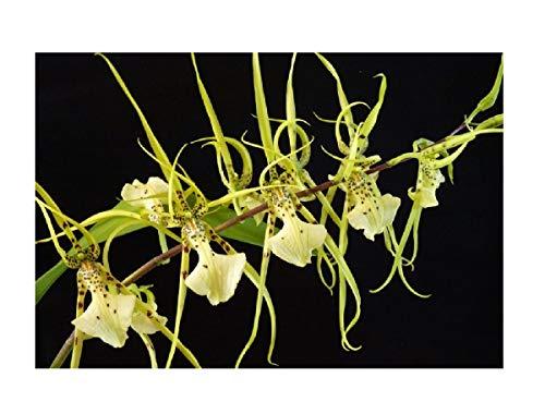 Stk - 1x Brassia Le Magnifique `L´Amazone´ SM/DOG Pflanze L351 - Seeds Plants Shop Samenbank Pfullingen Patrik Ipsa