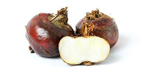 Water Chestnuts (Fresh) - 1 pound