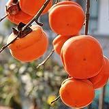 100 semillas de caqui perenne árbol caducifolio para jardín patio plantación fuerte adaptabilidad fácil de cuidar cosecha de otoño
