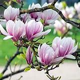 Qulista Samenhaus - Rarität 10pcs Duftend Magnolie Baumsamen 2 x im Jahr blühend Blumensamen...