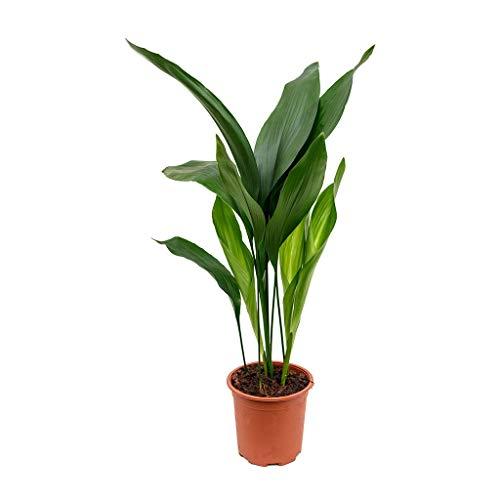 Cast Iron Plant - Aspidistra Elatior - Beautiful Live 6 Inch Pot