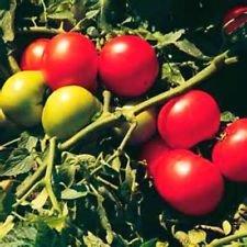 Super Sonic tomate 20 graines! Combiné S/H Très charnue! Voir notre magasin!