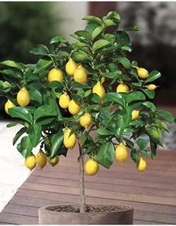 Edible Fruit Meyer Lemon Bonsai   Exotic Citrus Bonsai   Lemon Tree Plants (20 Pcs Bag)
