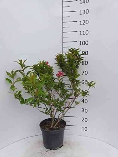 Späth Weigelie 'Red Prince' LH 60-80 cm im 7,5 Liter Topf Heckenpflanze blühend Zierstrauch bienenfreundlich