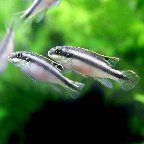 (熱帯魚)ペルヴィカクロミス・プルケール(ペルマト)(3匹) 北海道・九州・沖縄航空便要保温