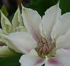 Clematis 'Corinne'. Perennial. Plant. Vine.