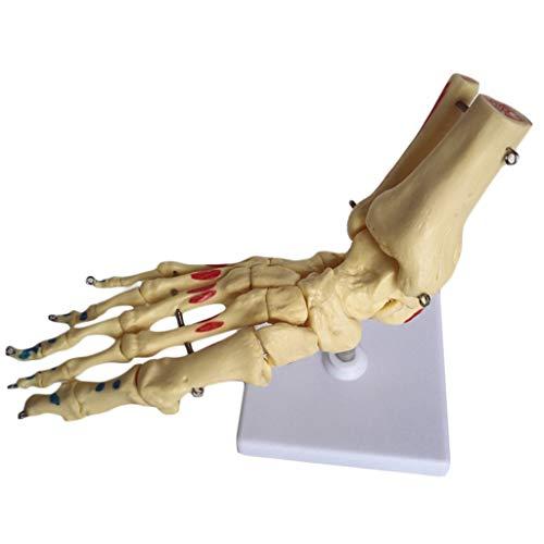 WJH Medische Anatomische Menselijk Skeleton Voet Model, Levensgrootte Spier Kleurplaten Klas Demonstratie Gereedschappen, Leraar Accessoires
