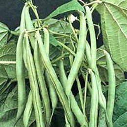 blue lake pole beans - 3