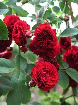 'Chevy Chase', Rambler-Rose im Rosen-Container