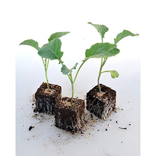 Gemüsepflanzen - Brokkoli - Brassica oleracea var. cymosa - 12 Pflanzen