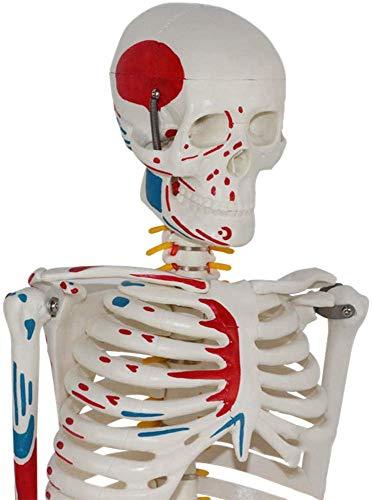 QIAN4 Scientific Menschliche Anatomie Skelett Mit Muskelbemalung, Anatomie Modell, Lernmodell 85cm/33.5