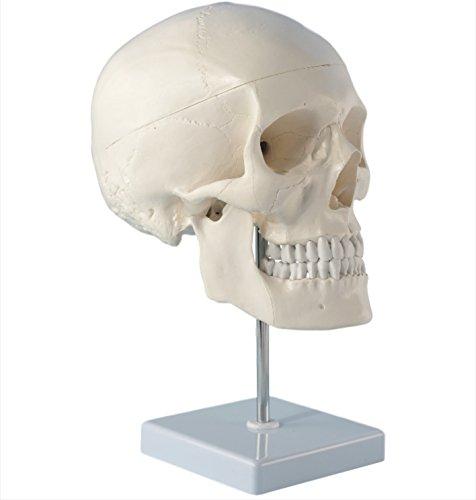 Cranstein E-246 Cráneo humano: Modelo anatómico educativo