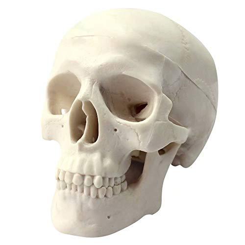 Global-Dental Human Mini Size Anatomical Head Bone Skull Bone Model Educational Model Teaching Model