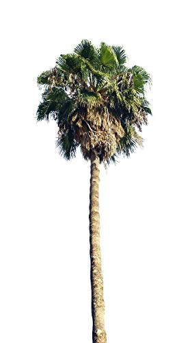 Washington Palme'washingtonia robusta' 10 frische Samen (Winterharte Palme bis - 5 Crad)