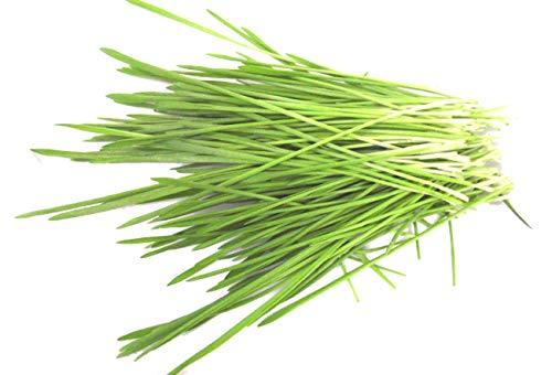 500g BIO Keimsprossen Gerste Gerstengrassaft Samen Microgreens Mikrogrün Sprossenanzucht Sprossensaat