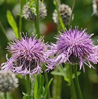 Best greater knapweed seeds Reviews