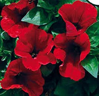 Best petunia storm red Reviews
