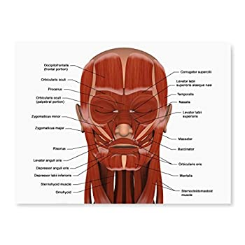 Posterazzi Facial muscles of the human head  with labels  Poster Print  16 x 12