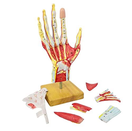 UIGJIOG Medical Anatomical 7 Parts Mano Skeleton Model with/Muscles Ligenazioni Nervi E Vasi Sanguigni Dimensioni della Vita