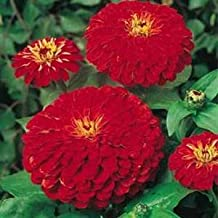 Outsidepride Zinnia Elegans Dahlia Cherry - 1000 Seeds