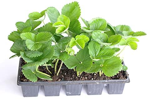 Senga Sengana-erdbeerpflanzen - 10 Topf Wurzelstecklinge, die mit Blättern verwurzelt sind. Direkt aus dem Gewächshaus. Mit einem Gesundheitspass. Erdbeeren. Erdbeersetzlinge/Erdbeerstecklinge