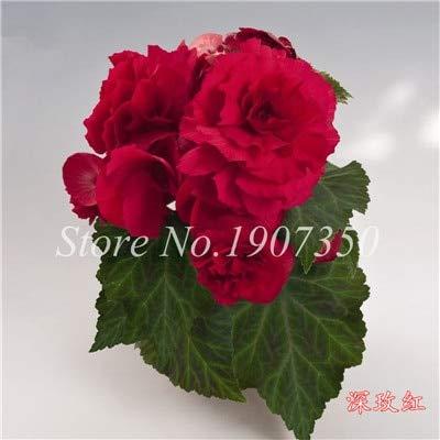 Shopmeeko Graines: 100 Pcs/Mitigé Begonia fleur en pot de bonsaïs d'intérieur Decoratie beau jardin mur usine Décoration pour l'arbre de Noël: 13