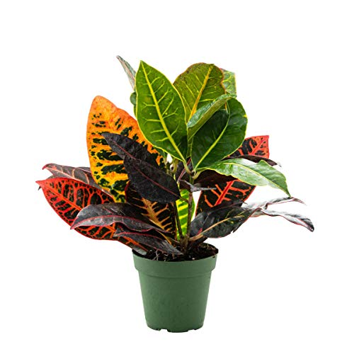 Petra Croton Tropical Plant in a 4 inch Pot - A Colorful Tropical That is Ideal...