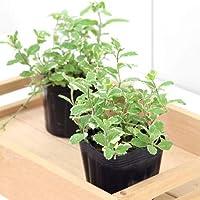 (観葉植物)ハーブ苗 ミント パイナップルミント 3号(3ポット) 家庭菜園