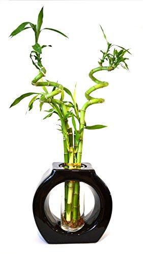 9GreenBox - Lucky Bamboo - Spiral Style 8â€â€ Tall Hollow Ceramic Vase