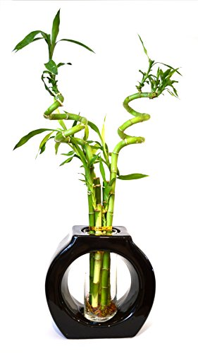 Top 10 bamboo plants indoor with vase for 2020