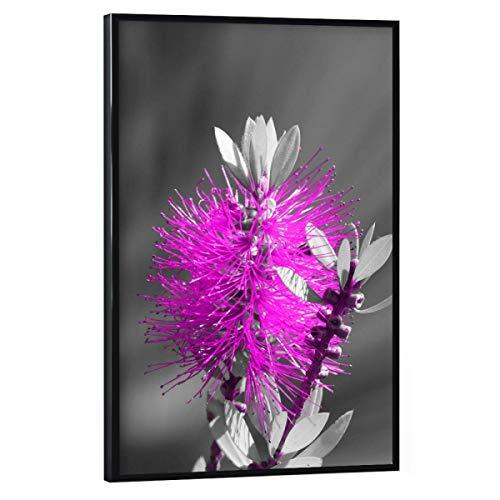 artboxONE Poster mit schwarzem Rahmen 30x20 cm Natur Flaschenbaumblüte ck Magenta - Bild flaschenbaum blüte ColorKey