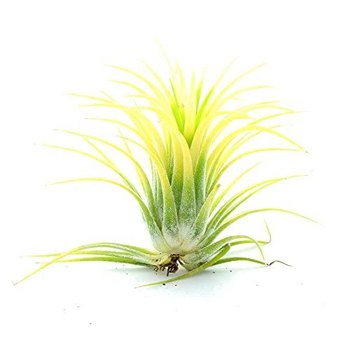 Tillandsia Ionantha de Color Amarillo Planta del Aire Amarilla Clavel del Aire Planta Exclusiva