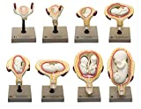 Human Embryo/Fetus Development in Utero, Set of 8 Models - Removable Parts for Exploration of The Gestational Period - Eisco Labs