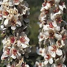Verbascum (Mullein) chaixii album Wedding Candles 2,000 seeds
