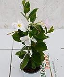 Pianta Dipladenia Bianca, Altezza 30cm