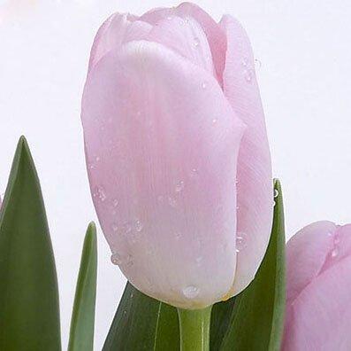 Bord blanc pourpre exotiques Tulipe Graines de fleurs vivaces extérieur jardin Bonsai Plantes en pot Livraison gratuite 120 pcs / sac 4