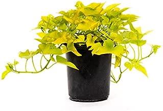 AMERICAN PLANT EXCHANGE Sweet Potato Vine Live Plant, 6