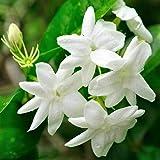 3 Piante di Gelsomino Jasminum officinalis Rampicante in vaso ø 9 Gelsomino Vero