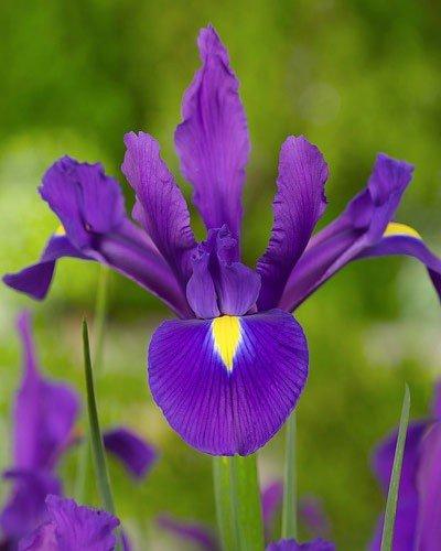 Garden Favourites Pack of 10 Dutch Iris Purple Sensation Spring Flowering Bulbs