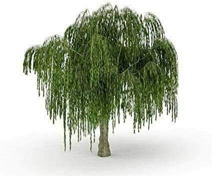 Dwarf Weeping Willow Tree - Thick Trunk Cutting - Exotic Bonsai Material - Live Plant
