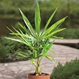 Xianjia Garten - 30 Stück Palm samen Chamaedorea Garten exotische winterhart mehrjährig Palme Baum Zimmerpflanzen Balkon Zierpflanze Flasche Palm Saatgut (1)
