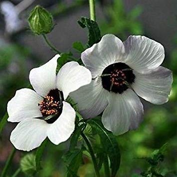 Hibiscus einfach Liebe Blumensamen (Hibiscus trionum) 20 + Seeds