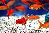 【観賞魚・金魚】 姉金(別下) ■サイズ:6〜8cm± ※エサ用として ※実験・研究用として (30匹)