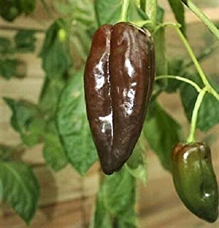 Toyensnow - MULATO ISLENO Pepper Brown Mildly Hot Ancho Poblano Capsicum Vegetable (40 Seeds)