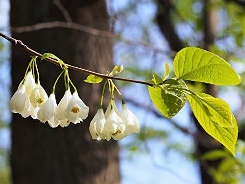 Berg-Schneeglöckchenbaum Halesia carolina var. monticola Pflanze 35-40cm Rarität