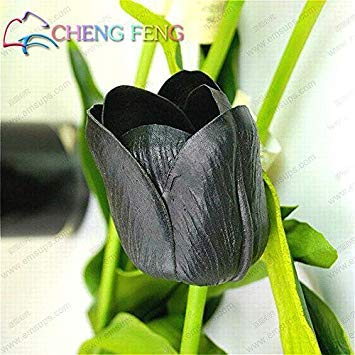 2016 Nouveaux Seeds 30 Pcs / lot rares Graines de Tulip Plantes Flower Garden Bonsai pot Sementes De Flores Seed SeedsAndPlants Jardin Décoration Pot
